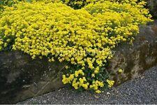 Alyssum- Yellow/Gold- 100 Seed- Bogo 50% off Sale