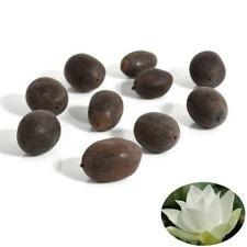 Bonsai Lotus Water Lily Flower 5 Fresh Seeds Bowl Pond Fresh Seeds PerfumeLotusA