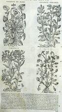 Botánica Flor Púrpura Isopyrum Matthioli Mattioli Matthiole Dioscorides
