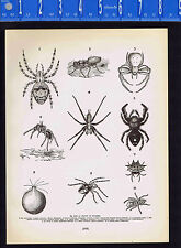 SPIDERS-Webs- Cross-spider, Tubeweaver-Tarantula, Dancing-Laterigrade-1899 Print