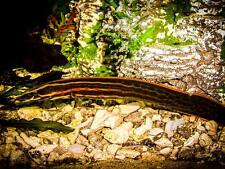 Fire eel ** Mastacembelus erythrotaenia ** FRESHWATER TROPICAL FISH