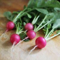 RADISH French Breakfast 50 Seeds HEIRLOOM vegetable garden AUTUMN WINTER SPRING