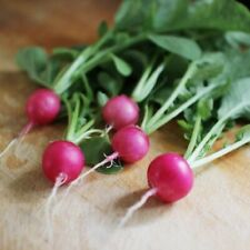 RADISH Pink Beauty 50+ Seeds HEIRLOOM vegetable garden AUTUMN WINTER SPRING veg