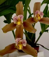 Lycaste Hybride ´Liberty Woody Dreamer´ Duft NEW Orchidee Orchideen