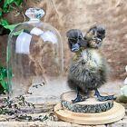 B2B Taxidermy Oddities Curiosities Gaff 2 Two Headed Duck Duckling Display dome