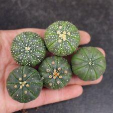 5-Cut Succulent Cactus Live Plant Cactus Green Astrophytum Asterias 3cm Cactus
