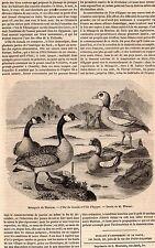 ARTICLE PRESSE 1848 OIE DU CANADA & D EGYPTE GOOSE