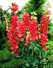 Seeds Delphinium Red King Flower Giant Annual Outdoor Garden Cut Organic Ukraine