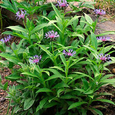 5 Centaurea montana plugs Blue Easy bee nectar long flowering exceptional plant