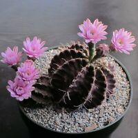 Gymnocalycium Mihanovichii Var Friedrichii * Stunning Rare Cactus * 10 Seeds *