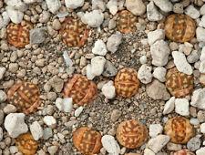 Lithops dorothea F 357 20 seeds