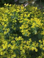 --- 100+ Weinraute Samen --- Ruta graveolens - aus Bio - Garten - Pflanzen