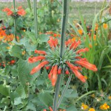 Kleinblättriges Löwenohr Leonotis nepetifolia sehr schöne Blütenstände
