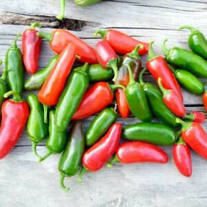 CHILLI - Jalapeno - Garden Vegetable - 10 seeds - FREE POSTAGE
