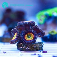 Live ReefandFins Midnight Rasta Zoanthid LPS Coral Frag (Saltwater)