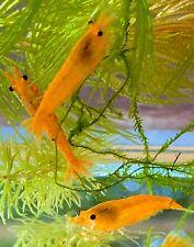 10 (+1 DOA) Orange Sakura Shrimp Imported Directly From Thailand
