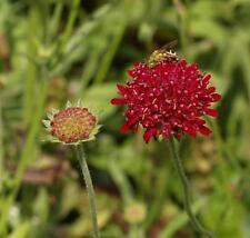 Knautia macedonica - Red Scabious Pollinator Plant in 9cm Pot
