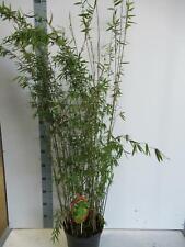 Fargesia nitida 'Black Pearl' - Schwarzer Schirmbambus - Heckenpflanze