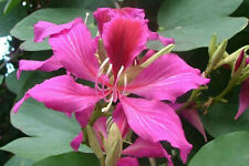 Bauhinia purpurea | Butterfly Orchid Tree | Camels Foot | 10_Seeds