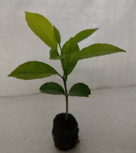 Mandarin,Satsuma,Tangerine Orange Citrus reticulata Container Grown Plug Plants.