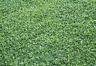 Dichondra Repens - Oreja de Ratón - 2000 semillas - tapizante - cesped