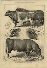 1879 Prize Longhorn Bull Prince Victor Shorthorns Sturgess Sketches