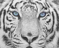 Blue Gray Black Wall Art Photo Print White Tiger Home Room Decor Picture Matted