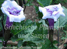 Datura Ballerina Blue 15 Seeds Angel's Trumpet Double Flower aromatic plant