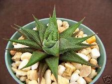 """Haworthia Limifolia, rare exotic succulent plant xeriscape cactus cacti aloe 4"""""""