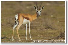 Springbok - NEW Animal Wildlife POSTER
