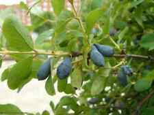200 seeds Lonicera caerulea edulis, honeyberry, Haskap berry, blue-berried honey