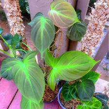Extremely Rare Hard to find Pink Aroid Philodendron CAMPOSPORTOANUM ROOTED LEAF
