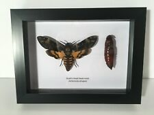More details for death's-head hawk-moth and chrysalis in box frame taxidermy insect art