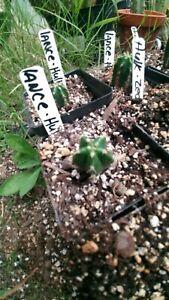 Echinopsis cactus Cordo Lance x scop hulk rooted plant Extremely RARE.