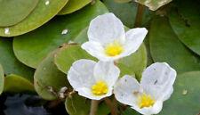 FROGBIT X 2 FREE FLOATING ***ESTABLISHED*** POND WATER PLANTS native UK plant