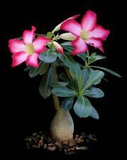 10 Adenium obesum ROSA DEL DESERTO semi seeds fiori