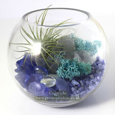 Air plant Kit with glass Terrarium with blue theme featuring Green Ionantha.