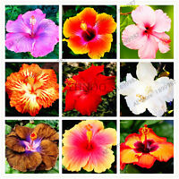 Colors Hawaii Bonsai Seeds Plants Potted For As 100pcs/baghibiscusflores24