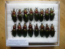 Chrysocarabus auronitens costellatus n. quittardi (Carabidae)