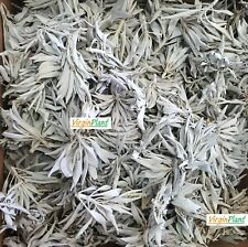 White Sage, Premium Quality Sage Leaf Clusters, Dried Five Pounds (5 lb)