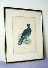 CAPERCAILLIE  - Framed Antique Ornithological Print