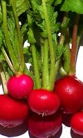 Radish Seeds, Crimson Giant, Heirloom Radishes, Non-Gmo, Quick Producer, 100ct
