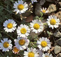 Samen Exot Sämereien Blume i! Bertram !i winterhart frosthart Garten-Kraut