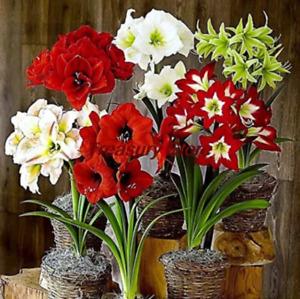 100 PCS Seeds Amaryllis Perennial