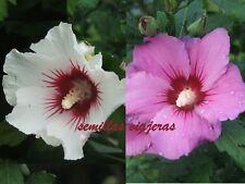 Hibiscus syriacus mauve + white , hibisco malva + blanco, 40 semillas seeds