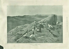 Antique B&W Illustrated Print Ptarmigan In Summer Plumage By G E Lodge 1901