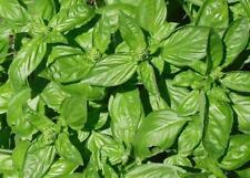 100 Semillas Albahaca Genovesa (Ocimum basilicum) seeds