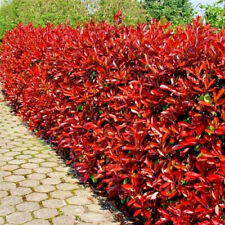10 Photinia Red Robin Hedging Plants 20-30cm Bushy Evergreen Hedge Shrubs