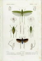 1836-49 CUVIER Antique H/C Print GRASSHOPPER INSECTS NATURAL HISTORY RARE DEC 2