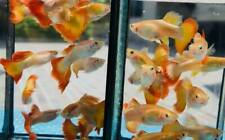 100 Pair Guppy Mikarif Sunset Live Fish Male&Female Aquariums Guppies